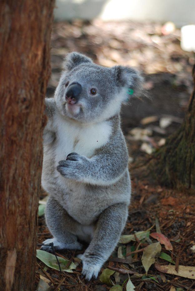 i can't handle the cuteness. - Orphaned Baby Koala Story Has A Happy Ending