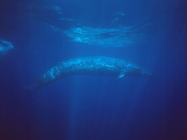 Earth's largest animal, the endangered blue whale can eat some 4 to 8 tons (3.6 to 7.3 metric tons) of krill per day.    Photograph by Flip Nicklin