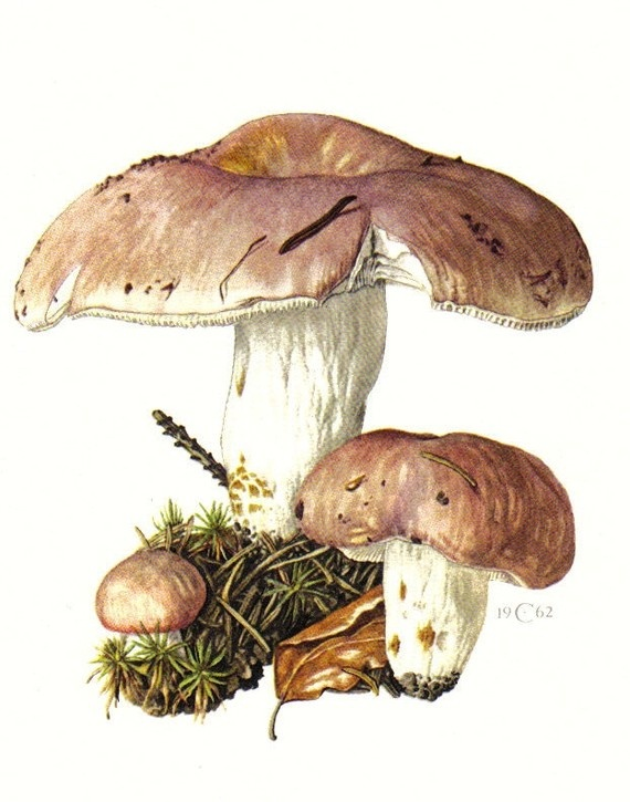 bare-toothed russula, russula vesca, original vintage lithograph, 1962