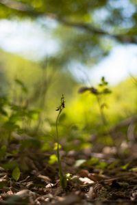 Vliegenorchis komt in Nederland voornamelijk voor in zoomvegetaties van hakhoutbosjes en hellingbossen (foto: Mark Meijrink)