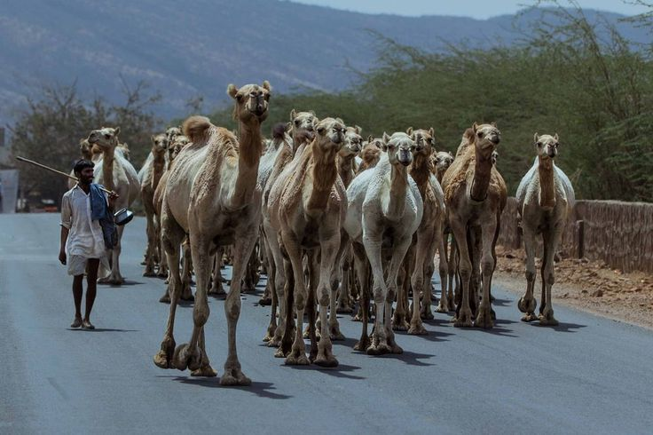 The Camel Caravan Photo by Arpit T. — National Geographic Your Shot