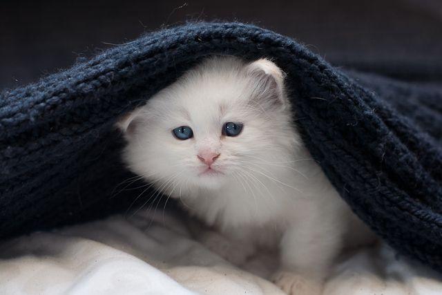 FIASKO » Dzika Bestia   Mała Domowa Hodowla Kotów Syberyjskich Neva Masquerade