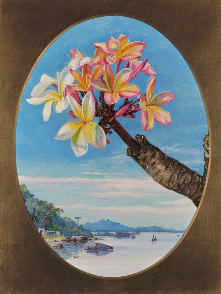 170. Flowers of Jasmine Mango or Frangipani, Brazil. Prints by Marianne North | Magnolia Box
