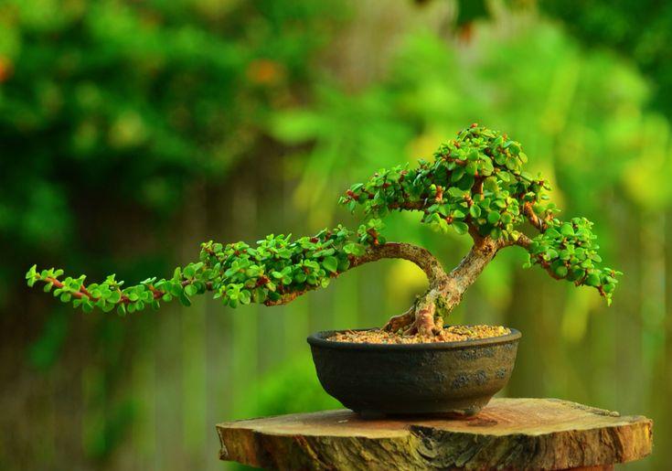 Portulacaria afra (dwarf Jade) bonsai tree by Gilbert Cantu with Little Jade Bonsai.