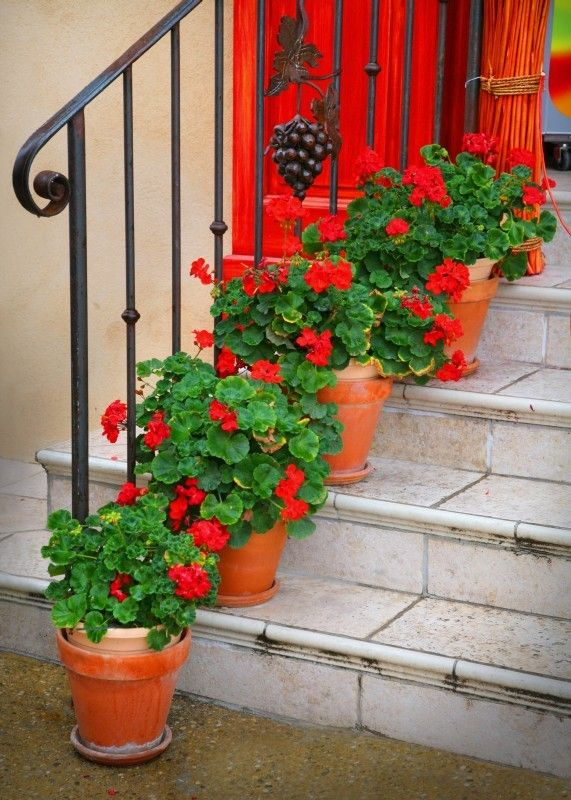 red geraniums in terra cotta pots: so classic  Done!  Geraniums in PAINTED terra cotta pots!  : ) Love it.