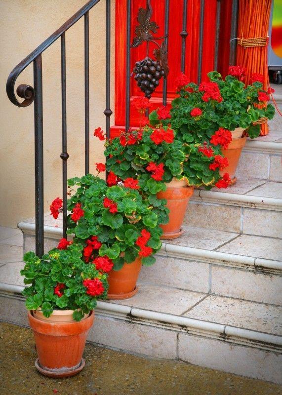red geraniums in terra cotta pots: so classic  Done!  Geraniums in PAINTED terra cotta pots!  : ) Love it.
