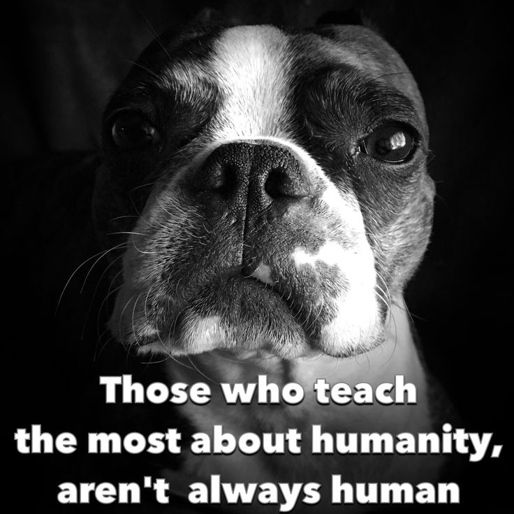Dog wisdom Those who teach the most about humanity, aren't always human I have learned so much from our Boston Terriers