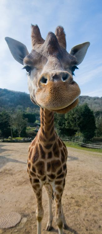 Be in with the chance of winning a Rothschild's giraffe animal adoption at Belfast Zoo!
