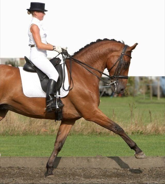 Dressage Hunter jumper eventing horse equine grand prix dressage equestrian