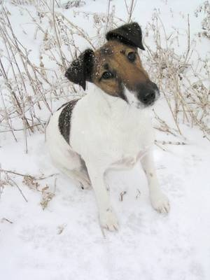 Smooth Fox Terrier Pictures