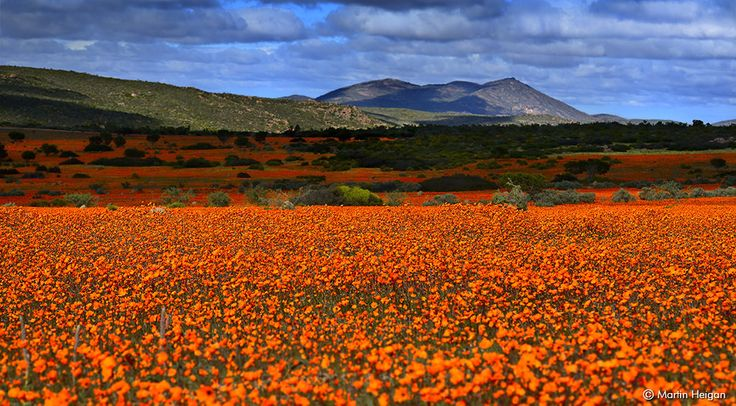 Namaqualand, South Africa (flower season). Half of the floral species found in Namaqualand, part of the Succulent Karoo along the west coast of South Africa, are found nowhere else. Image: Martin Heigan