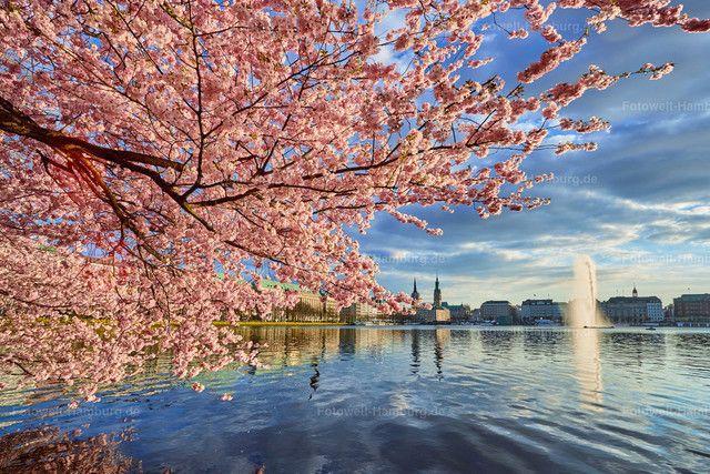 Son Schon Ist Der Fruhling In Hamburg Kirschbluten An Der Binnenalster Bilder Alster Hamburg Hamburg