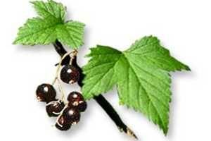 Propiedades del Grosellero Negro como Antioxidante, Analgésico, Antiinflamatorio, Diurético y más beneficios de esta maravillosa planta. SIGUE LEYENDO AQUI > http://alimentosparacurar.com/plantas-medicinales/n/280/propiedades-medicinales-del-grosellero-negro.html