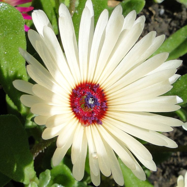 The colours in the centre of this Mesembryanthemum in the Paradis Terrestre garden is quite frankly amazing!