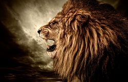 Angry lion Stock Photography