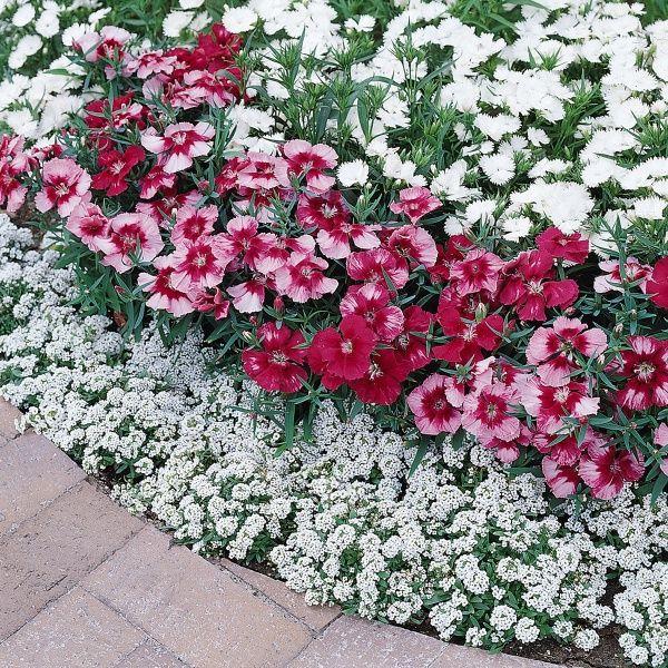 Plants for edging sidewalk flowering plants for garden for Plants for walkway landscaping ideas