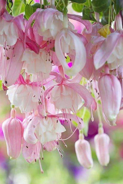 Fuchsia double rose tendre