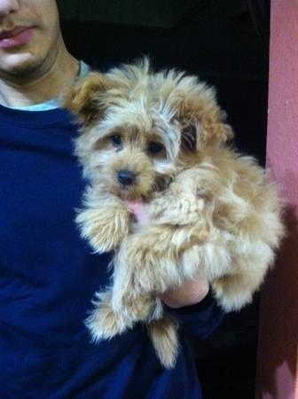 Pomapoo dog puppy cute