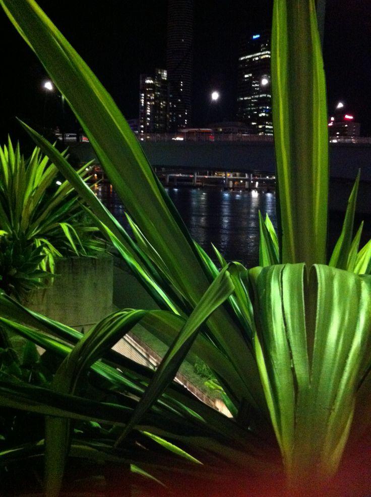 Massive cacti at Southbank