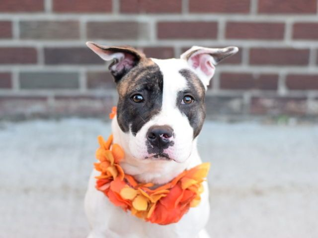 "HARLEY - A1096173 - - Manhattan  Please Share:TO BE DESTROYED 11/19/16: ****PUBLIC ADOPTABLE**** A VOLUNTEER WRITES: A volunteer writes: Harley is so great she has us singing a cheer about her: H is for ""How about a game of fetch?"" Harley retrieves the ball and drops it on command! A is for ""Always ready to go for a walk!"" She walks nicely on the leash and seems housetrained. R is for ""Really, really sweet!"" Harley has a gentle, calm deme"