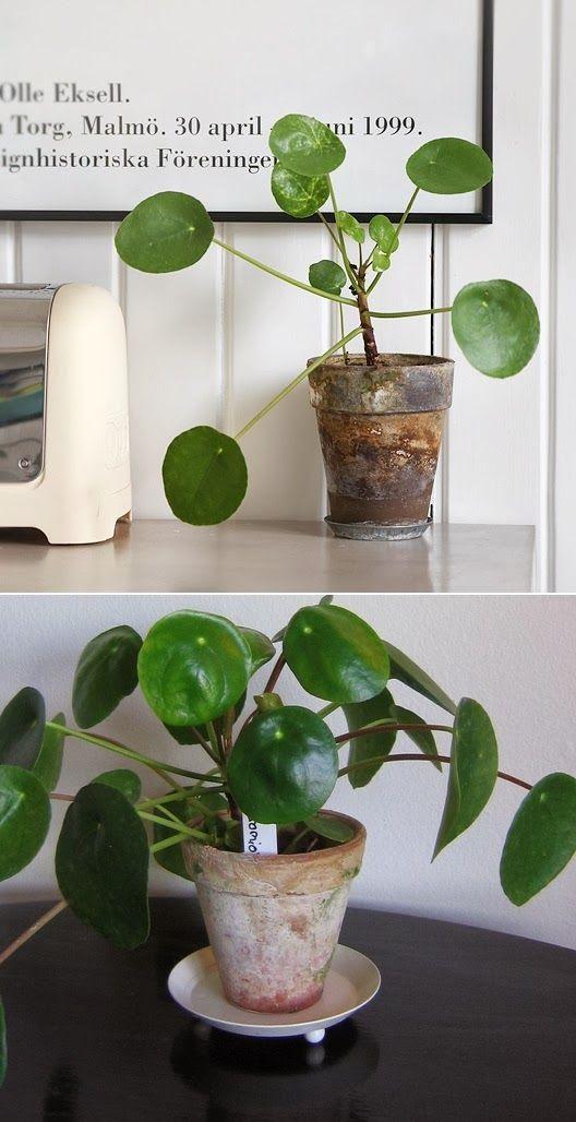 elefant ra plants pinterest k rlek och v xter. Black Bedroom Furniture Sets. Home Design Ideas