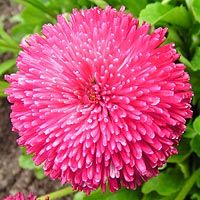 """маргаритки """"Роб Рой"""" ('Rob Roy') - маргаритки с сугубо красными соцветиями, диаметр которых 1- 2 см;"""