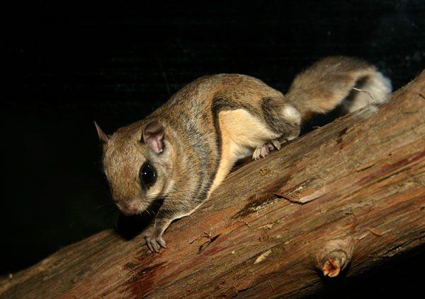 Sugar Gliders vs. Flying Squirrels: What makes a better pet? - Dallas Pet Scene   Examiner.com