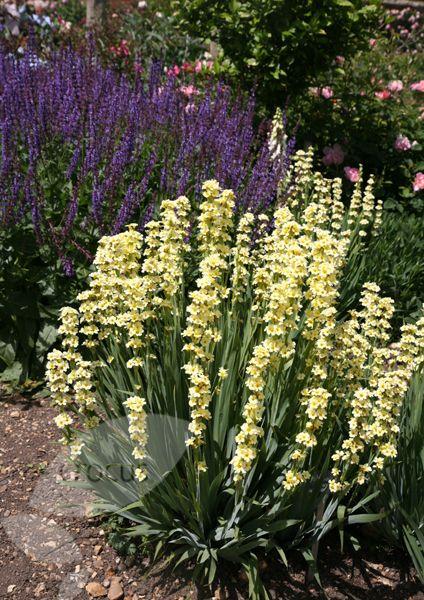 Buy sisyrinchium Sisyrinchium striatum: Delivery by Waitrose Garden in association with Crocus