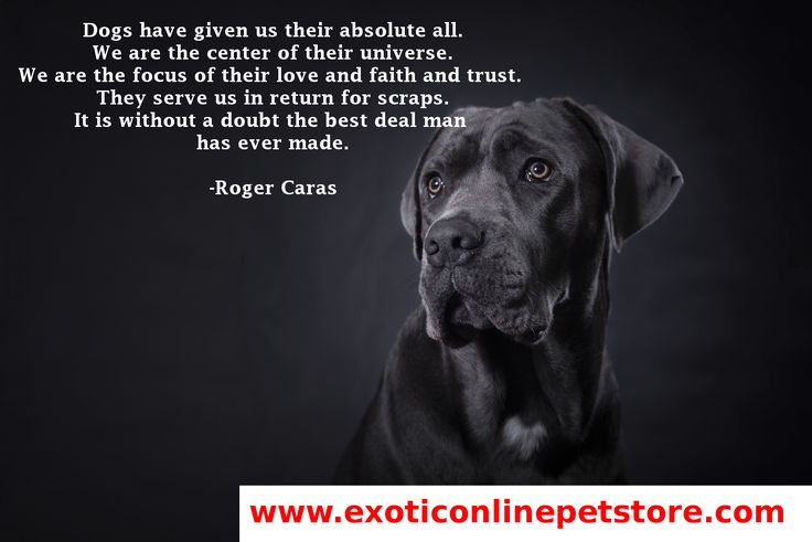 """Dogs have given us their absolute all. We are the center of their universe. We are the focus of their love and faith and trust. They serve us in return for scraps. It is without a doubt the best deal man has ever made.""  - Roger Caras #doglove #dogs #RogerCaras #Labrador http://www.exoticonlinepetstore.com/"