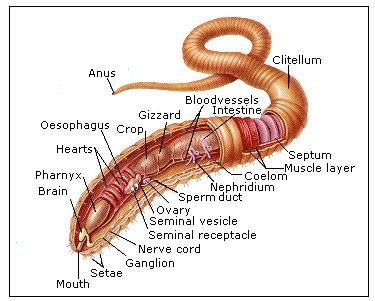 Earthworm Anatomy | Invertebrates | Pinterest | Earthworms ...