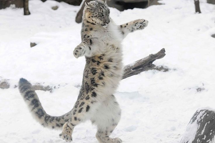 Everest, a 6-month-old Snow Leopard cub, plays the snow at the Brookfield Zoo in Brookfield, Illinois, on December 15, 2013. (AP Photo)