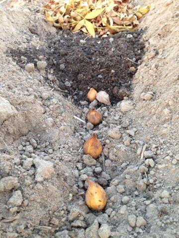 plantar bulbos