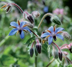 Borage (Seed Savers Exchange)--(Borago officinalis) Beautiful blue star-shaped flowers hang in clusters. The leaves are covered with stiff white hairs that give the plant a wooly appearance. Bees love the abundant bright flowers, which are great for floating in cool drinks at summer parties. Plants grow 2-3' tall and self-sow readily. Annual.