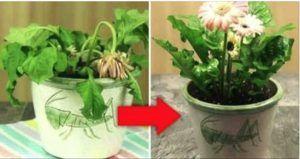 3 ingredientes para as suas plantas sem vida e veja como vão voltar a florescer
