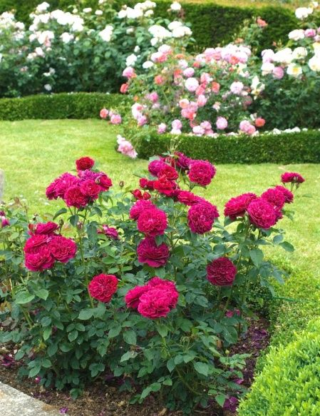 Darcey Bussell - David Austin English Rose Whole Foods- own root 2/2015