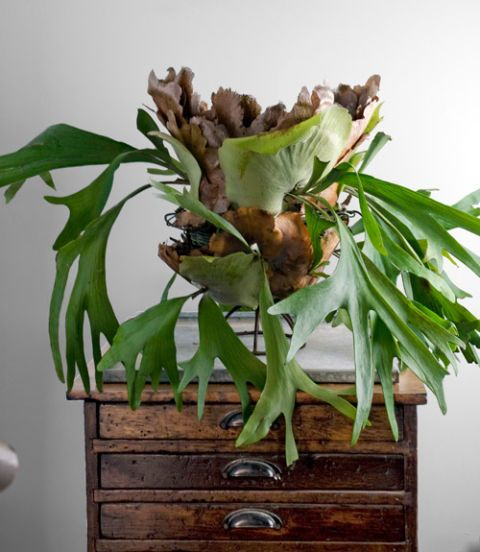 """A botanical oddity akin to taxidermy, Platycerium bifurcatum's scraggy center leaves give way to antler-like fronds—the """"staghorns"""" of its name. """"My guests literally stop and stare at this weird, architectural specimen,"""" says Martin. """"Surprisingly, it's a cinch to care for."""" An epiphyte (a plant that grows non-parasitically on another plant or object), this fern wants little more than something solid to grip and a natural medium, such as moss or bark. For Martin, that meant sheet moss placed…"""