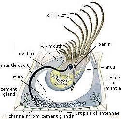 Anatomy of a barnacle