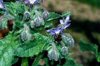 """Borago officinalis is a large, branched annual with coarsely hairy, ovate leaves and branched cymes of starry, bright blue flowers 2cm across over a long period in summer. """"cool tankard"""" or """"tailwort"""". Annual/Biennial or Herbs. Spreading, height 0,5 -1 m, hardy. Full sun to part shade. Acid /alkal/ neutr reasonably drained soil. Propagate by seed."""