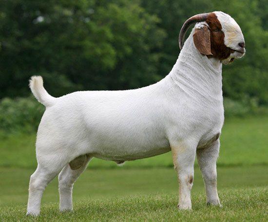 17 Best images about Boer Goats on Pinterest | Baby goats, Vegans ...