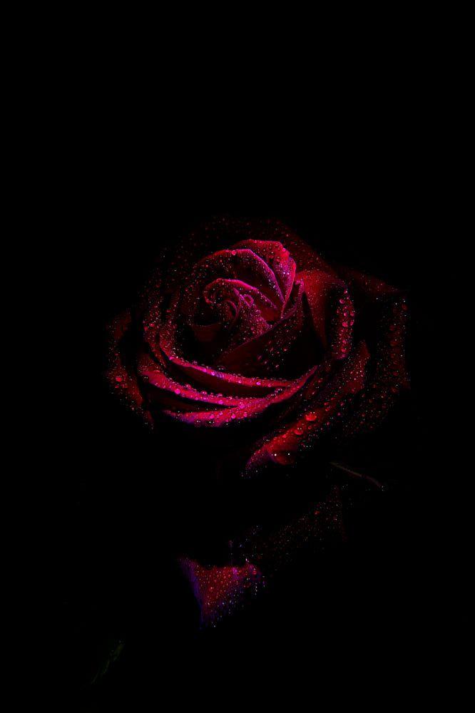 Pin By Lilly June On Aaaaidentificar Red Roses Wallpaper Dark Background Wallpaper Rose Flower Wallpaper