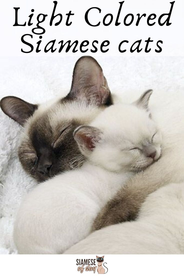 How Many Types Of Siamese Are There Here S The Answer In 2020 Siamese Cats Cats Cat Care