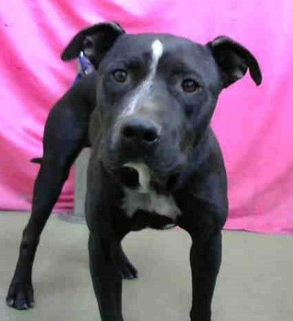 Reuben Meyer is an adoptable Pit Bull Terrier searching for a forever family near Shoreline, WA. Use Petfinder to find adoptable pets in your area.