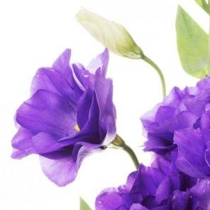 Bulk Discount Flowers - Lavender Lisianthus