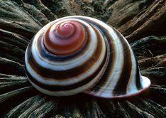 Marbled Cone - Conus marmoreus. Family Conidae. ...