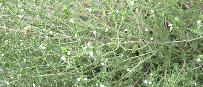 Borsikafű (Satureja hortensis, Satureja montana)