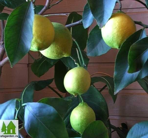 ВСЕ ДЛЯ ДОМА И ДАЧИ: Как привить лимон в домашних условиях