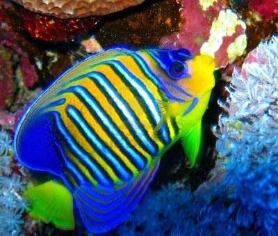 Resultados de la Búsqueda de imágenes de Google de http://us.123rf.com/400wm/400/400/norr/norr0804/norr080400014/2888068-pescados-tropicales-vivos-del-infante-de-marina-de-egipto.jpg