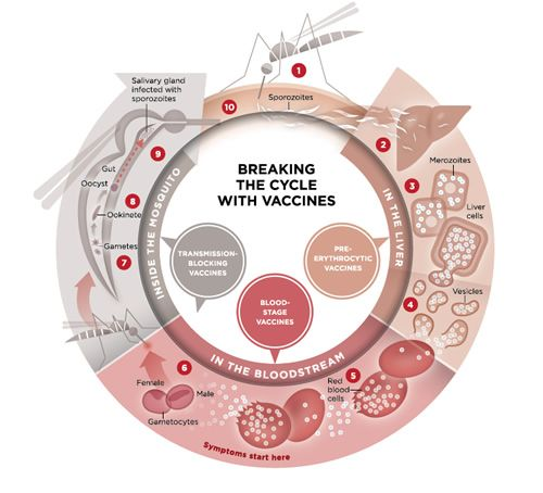 Malaria parasite life cycle and vaccine approaches