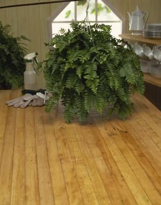 The Care of Kimberly Queen Ferns this is a wonderful house  plant doesn't drop fronds like a boston fern