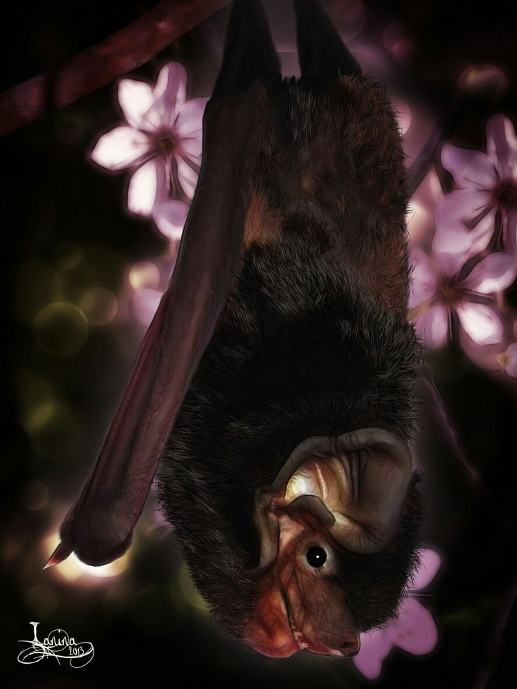 Lilly - Gould's Wattled Bat from Adelaide Bat Care
